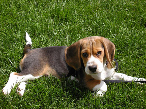 Beagle Dog Breeds