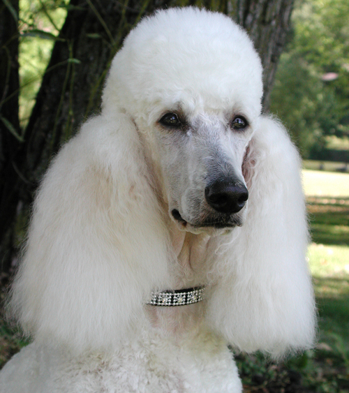 standard poodle dog breed so you want a standard poodle